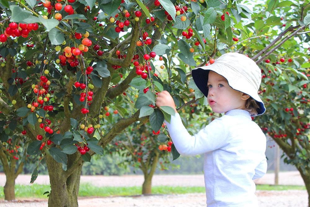 The Cherry Harvest www.cherryandme.com