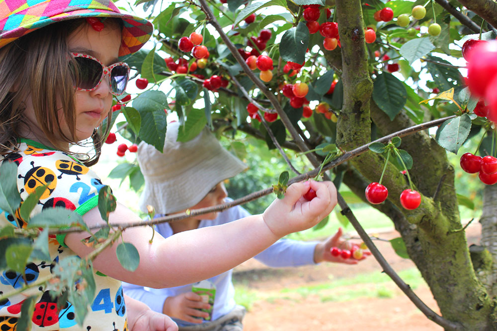 The Cherry Harvest www.cherryandme.com